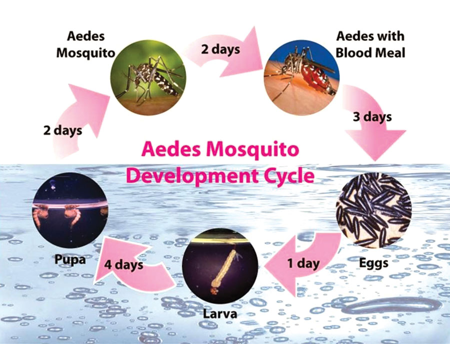 !-2015-Aedes-Mosquito-Cycle